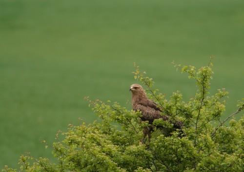 Малък креслив орел /A. pomarina/, снимка Борис Белчев