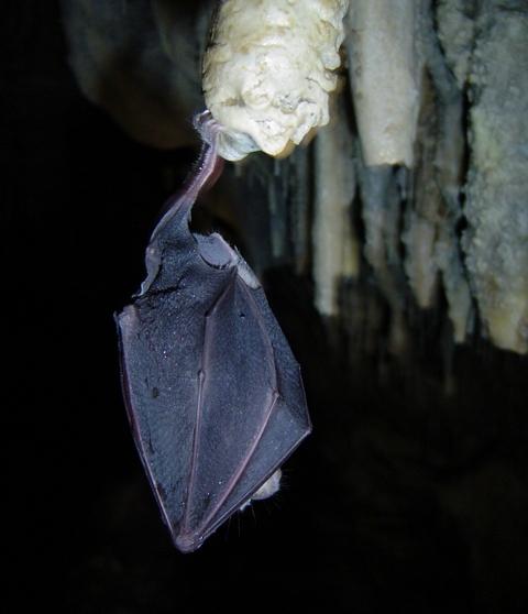 Голям подковонос /Rhinolophus ferrumequinum/