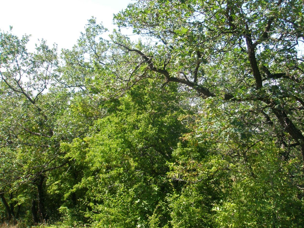 Местообитание 91АА Източни гори от космат дъб.
