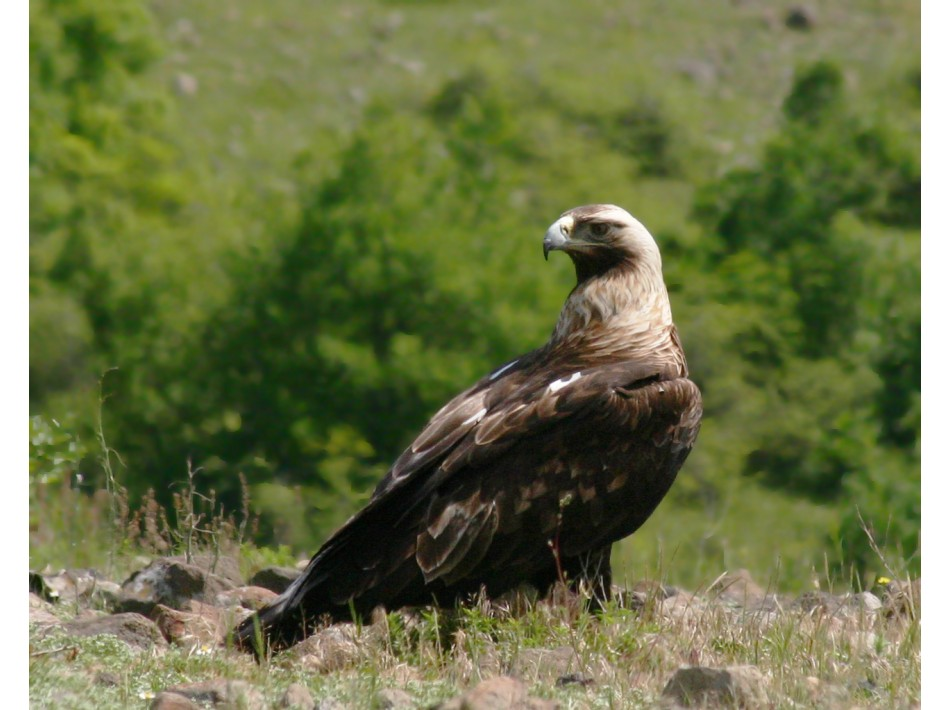Царски орел /Aquila heliaca/