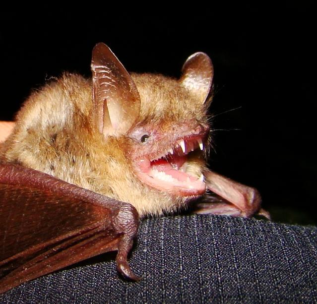 Трицветен нощник /Myotis emarginatus/