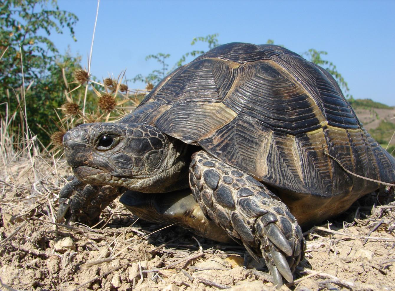 Шипобедрена костенурка /Testudo graeca/ - сухоземна костенурка