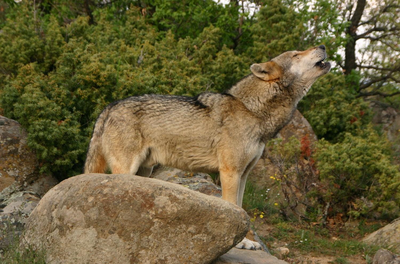 Вълк /Canis lupus/