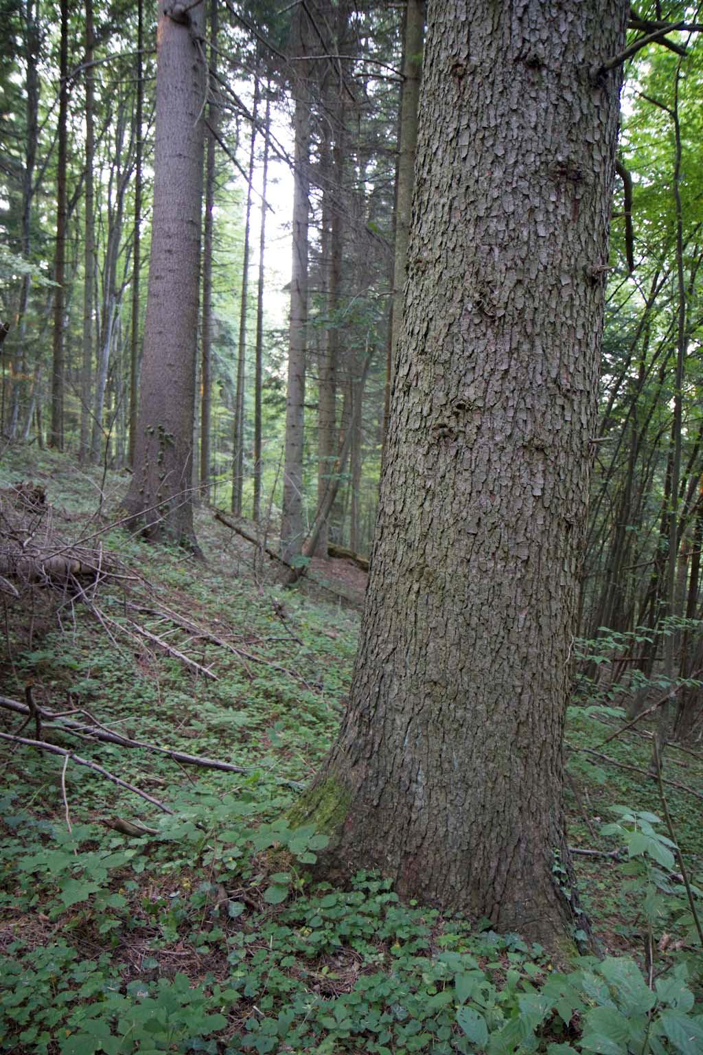 Местообитание 91ВА – Мизийски гори от обикновена ела