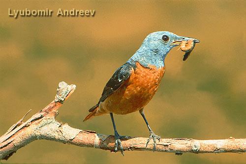 Пъстър скален дрозд /Monticola saxatilis/, фотограф Любомир Андреев