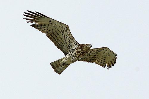 Орел змияр /Circaetus gallicus/ - снимка Тео Тодоров