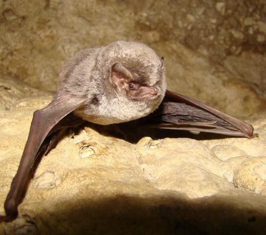 Пещерен дългокрил /Miniopterus schreibersii/