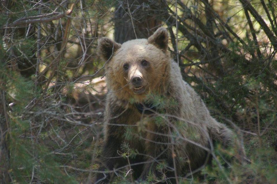 """Кафява мечка /Ursus arctos/ - снимка Костадин Вълчев, СДП """"Балкани"""""""