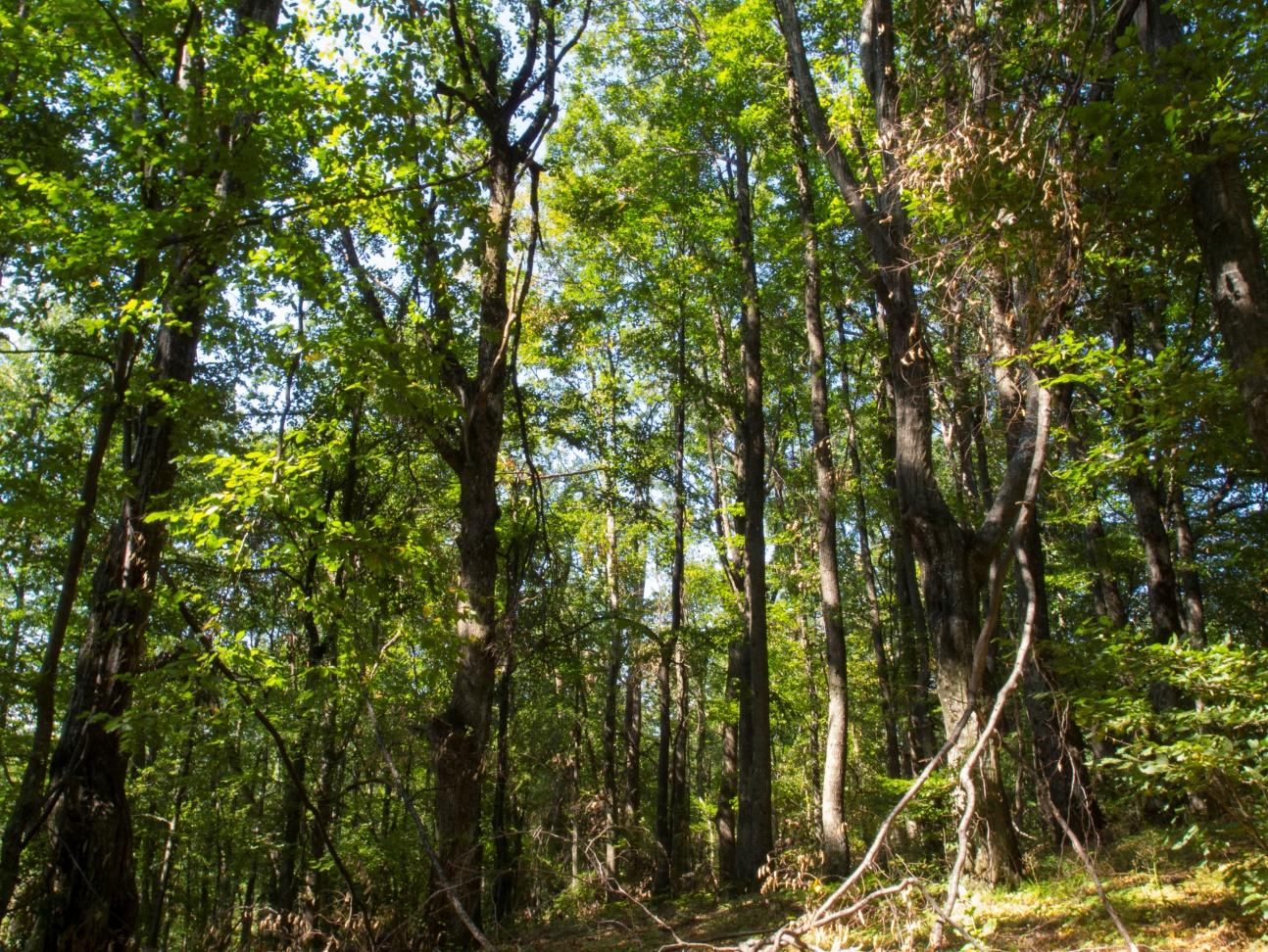 Местообитание 9170 - Дъбово-габърови  гори от типа Galio-Carpinetum