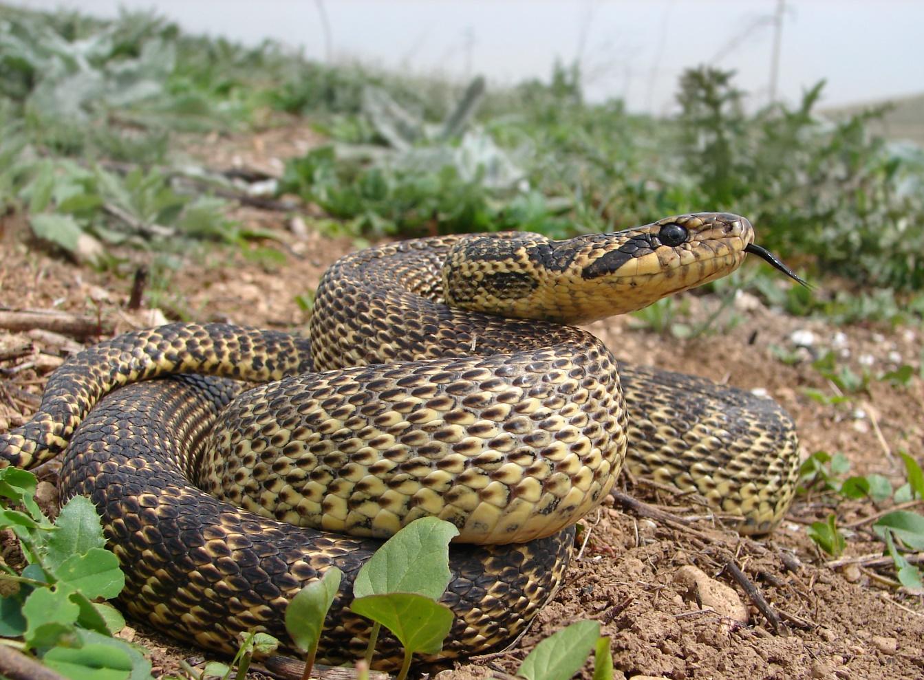 Пъстър смок /Elaphe sauromates/ - среща се основно в югоизточна България, не е отровен.