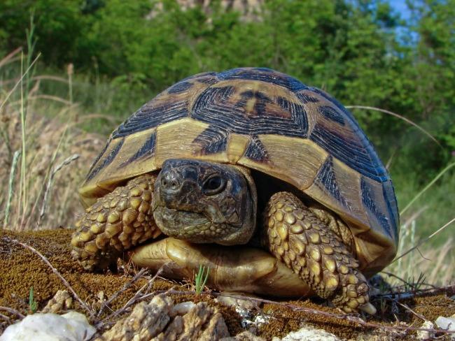 Шипоопашата костенурка, /Testudo hermanni/